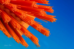 M_M.....Orange and blue (dave_poth) Tags: macromondays orangeandblue