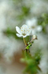 Plum blossom (ElaR.) Tags: nature coloursofnature spring springflower springplants twig tree treeblooming plumblossom flowers plants flora whiteflower white bokeh nikon outdoor garden gardenplants gardenflowers gardentrees