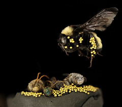 Gold Gathering Bees (Sam Droege) Tags: bee bees gold golddust cleverbees aprilfools goldmining golddigger bumblebee usgs