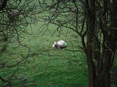 Sheep Family 4 (StaircaseInTheDark) Tags: yorkshire england northernengland britain greatbritain unitedkingdom uk outdoors walking countryside nature rural animals animalfamily sheep lambs babyanimal spring northyorkshire