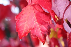 Morning Dew (BattysGambit) Tags: 2017 australia victoria melbourne autumn canon 7d dslr sigma 18mm 250mm zoom lens foliage red lipstick maple tree leafer nature fall closeup upclose bluesky majestic majesty dew morning drop