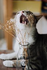 cat (benageXYZ-邊) Tags: ç´è² cat kitten neko animal benagexyz nikon 貓 貓咪