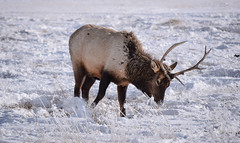 An Elk Bull, National Elk Refuge, Wyoming (T.M.Peto) Tags: nationalelkrefuge wyoming jacksonhole wy elk antlers wildlife wildlifephotography wildanimal animal wilderness wildlifephoto snow field grass straw digging creature godscreatures landscape outdoor outdoors biggame northamericanwildlife nikond3300 nikon nikonphotography nikonoutdoors cold winter winterscene winterphotography travelphotography frosty lightroom adobelightroom