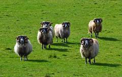 (Zak355) Tags: rothesay isleofbute bute scotland scottish sheep