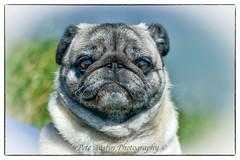 Pugsy. (pedro2324) Tags: pug dog canine cute ugly pet creature nature funny