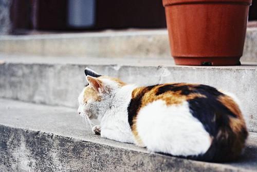 杭州的貓. 法律系長. Kodak VISION3 250D/5207. 135. #135film #35mm #135 #35mmfilm #kodak #kodakfilm #film #5207 #250d #Leica #konica #hexar #cat #lovecat #kodakvision3 #hexarrf #city #citylife #life #filmcamera #filmphotograph #filmphotography #filmphotographer #fi