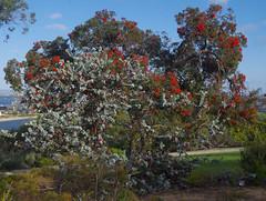Eucalyptus macrocarpa ssp macrocarpa and E. ficifolia, Kings Park, Perth, WA, 30/12/16 (Russell Cumming) Tags: plant eucalyptus eucalyptusmacrocarpa eucalyptusmacrocarpamacrocarpa eucalyptusficifolia myrtaceae kingspark perth westernaustralia trees floweringtree wa