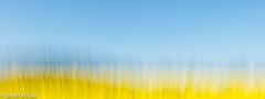 PPF_0793-7 (pavelkricka) Tags: holbrook fields village oilseed rape motion blur deliberate intentionalcameramovement icm