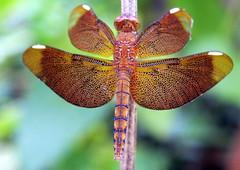 Wings of web...[Explored, April 14] (ranju10) Tags: dragonfly anisoptera ckbs chintamanikarbirdsanctuary kolkata ranju fuji finepixhs20 hs20exr westbengal