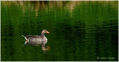 Loneliness (lukiassaikul) Tags: wildlifephotography wildanimals wildbirds largebirds urbanwildlife spring goose greylaggoose weststow reflections lake shadow