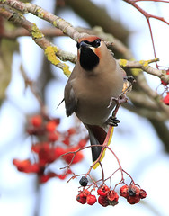 Waxwing, Derbyshire