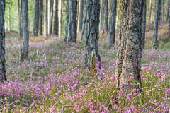 Föhrenwald (maka3110) Tags: förenwald ötztal blume erika wald tirol österreich alpen landschaft nikon nikon7100 sigma sigma1770