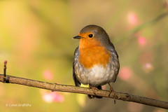 Robin D75_6290.jpg (Mobile Lynn) Tags: robin birds nature wild bird fauna oscines passeri passeriformes songbird songbirds wildlife hurst england unitedkingdom gb coth specanimal sunrays5 coth5 ngc specanimalphotooftheday