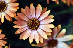 Autumn's color in spring time (Pensive glance) Tags: daisy marguerite flower fleur plant plante