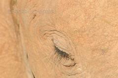 DSC_7424071027 (Akira Uchiyama) Tags: ほ乳類 アフリカ アフリカゾウ ゾウ 動物たちのいろいろ 生息地 目 目ゾウアフリカゾウ