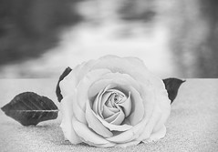Rose by Pool (docoverachiever) Tags: rose bokeh pool one blackandwhite closeup flower