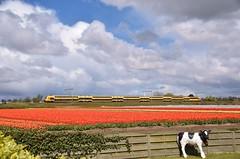 Treinen, tulpen en plastic koeien... Hillegom (eddespan (Edwin)) Tags: bollen bollenveld bollenstreek tulpen bloemen voorjaar koe trein nederland holland hillegom zug train eisenbahn railway tulipfields zuidholland thenetherlands niederlande paysbas ddz ns nederlandsespoorwegen dubbeldekker