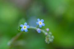 our tiny field (hitohira_) Tags: flower flowers n nature bokeh
