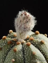 Astrophytum asterias bud (emilmorozoff) Tags: asterias bud