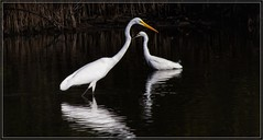 7899-   Egrets in Love (canuckguyinadarkroom) Tags: egrets birds affection