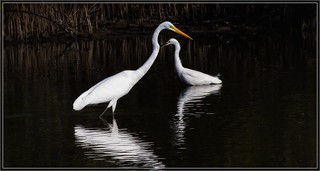 7899-   Egrets in Love