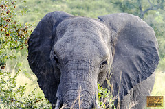 Looking so close... (Edgar Guzmán) Tags: animal anmiales animals sudafrica sudáfrica southafrica elefante elephant