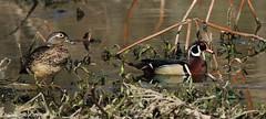 mr and mrs (don.white55 never caught up) Tags: woodduckaixsponsamaleandfemale wildwoodlake harrisburg pennsylvania waterfowl canone0s7od canoneos70dtamronsp150600mmf563divcusda011 nature wildlife pennsylvaniawildlife habitat outdoors reflection scenic woodduck woodie