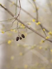Cadeau de l'hiver au printemps (Titole) Tags: auneglutineux titole nicolefaton branches jaune cornouillermâle yellow shallowdof strobile