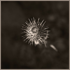 Molini Canyon #5 2017; Seed Pod (hamsiksa) Tags: plants flora vegetation botany seeds fruit seedpods desert desertplants xerophytes wildflowers sonorandesert molinocanyon coronadonationalforest tucson arizona santacatalinamountains