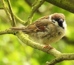 Tree Sparrow - Druridge Ponds (Gilli8888) Tags: northumberland birds druridge druridgeponds waterbirds water lake countryside nature sparrow treesparrow smallbirds nikon p900 coolpix