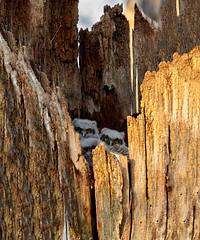 Great horned owlets (btcarr1970) Tags: greathornedowl animalbabies owlets canon7dmarkii tamronsp150600mmf563divcusd newyork naturephotography wildlife wildbirds raptor nest wildanimals tree hollow audubon