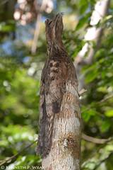 Nyctibius griseus (Common Potoo) (Kenny Wray) Tags: nature wildlife bird common potoo aves caprimulgiformes nyctibiidae nyctibius griseus nyctibiusgriseus commonpotoo kenny wray kennywray birding projectamazonas mtamazonexpeditions santacruzforestreserve loreto peru