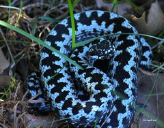 Blue viper (ingelarene) Tags: blueviper huggorm blå viperaberus ingelarené greviebackar snake