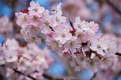 Garden (Slottsträdgården) (Maria Eklind) Tags: garden spring colorful flowers malmö dof nature körsbärsblom outdoor sweden slottsparken blommor outdor slottsträdgården depthoffield skånelän sverige se