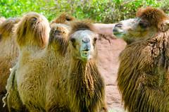 Camels (Kevin MG) Tags: saintlouiszoo zoo stlouis animals nature creatures camel camels mammals dromedary
