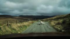 Long Walk (HFF) (Stefan (back from Scotland, but need some time)) Tags: sheeps sheep scotland hebrids skye isleofskye hff happyfencedfriday happyfencefriday fence street schaf zaun clouds cloud sky schottland april roadtrip road singletrack sonya7ii sel35f14z islelife lamb lambs cute beautiful weather mood meadow