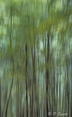 Beech forest (Pol/S) Tags: abstract tree foliage texture green new zealand beech forest nothofagus