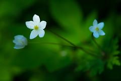 hermit (qrsk) Tags: 二輪草 ニリンソウ 花 草 植物 武蔵国分寺緑 green flower grass windflower
