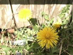 (Cheeseisboss) Tags: flower yellow dandelions