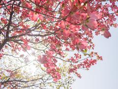 ハナミズキ (takanorimutoh) Tags: flower flowers ハナミズキ colorsinourworld