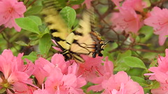 Eastern Tiger Swallowtail (GoldenEagle754) Tags: easterntigerswallowtail swallowtail butterfly insect invertebrate lakemonticello fluvanna virginia animal outside outdoors closeup fluttering flying video azalea flower blooms blossoms flowers pink green plant moss