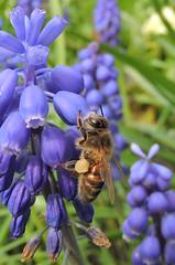 Bee 22 (Magic Moments by Pippa) Tags: macro nature closeup wildlife bees insects british