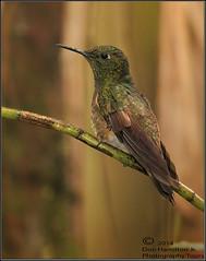 Hidden-Gem-Forum_O7T4115 (DonHamiltonPhotos.com) Tags: america photography ecuador south hamilton don hummingbirds tours coronet avian workshops photogrpahy flavescens bufftailed boissonneaua vbirding