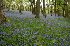 Bluebell heaven (Lancashire Lass ...... :) :) :)) Tags: trees green grass bluebells countryside spring woods purple may lancashire alston kingwood ribblevalley hothersall