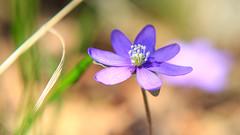 Liverleaf (Subdive) Tags: blue flower nature spring woods purple natur lila naturereserve skog blommor canonef2470mmf28lusm vsters vr bl nobilis vstmanland hepatica liverwort engs liverleaf blsippa ngs canoneos60d naturereservat