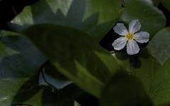 water nymph (BigMs.Take) Tags: nikon dhaka bangladesh tropicalplants pondplants floatinghearts chandmala floatingwaterplants nymphoidesezannoi