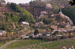 Cherry blossom's town (hero198406) Tags: japan cherry photo spring pentax blossoms