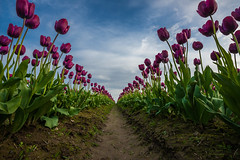 The Straight and Narrow (NW Vagabond) Tags: blue sky festival purple angle wide tulip skagit 2014