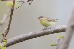 _53F1773 Philadelphia Vireo (~ Michaela Sagatova ~) Tags: spring dundas birdphotography vireophiladelphicus dvca philadelphiawarbler michaelasagatova