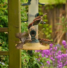 Squabbling Sparrows 2 (AndyorDij) Tags: bokeh bird birds empingham england rutland uk 2014 gardens flowers andrewdejardin